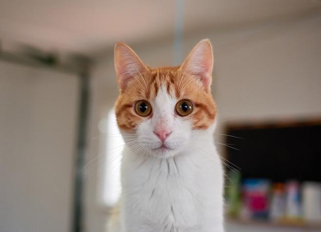Portret puszystego dwukolorowego kota o dużych oczach