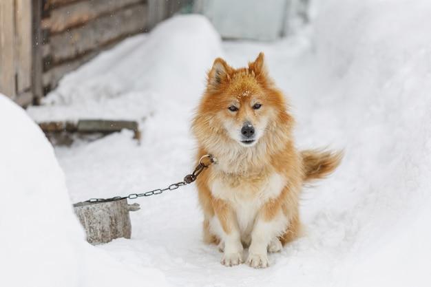 Portret puszysty czerwony przykuwający pies outdoors w zimie na śniegu