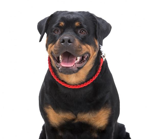 Portret rasowego rottweilera z czerwonym stringiem.