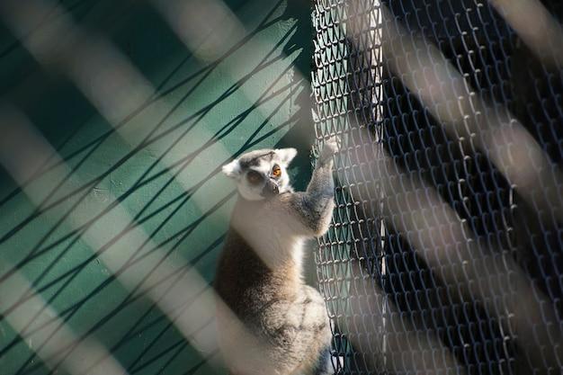 Portret ringowy ogoniasty lemur w klatce.