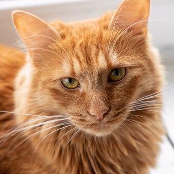Portret rudego kota domowego ze złotymi oczami z bliska
