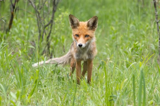 Portret rudego lisa vulpes vulpes w lesie.