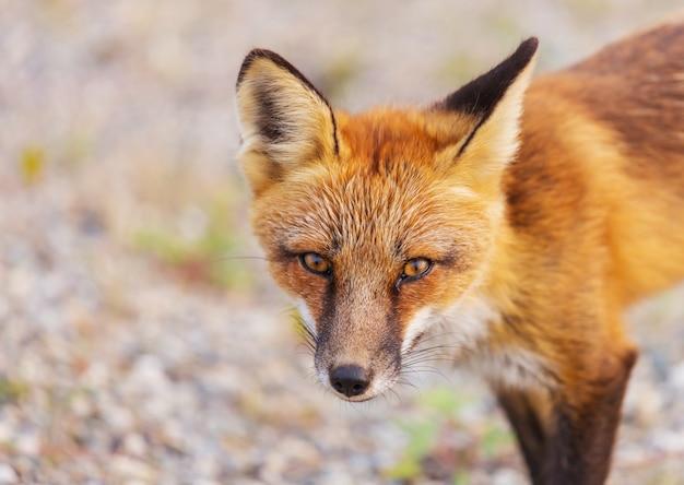 Portret rudego lisa (vulpes vulpes)
