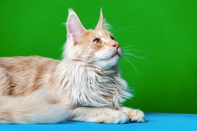 Portret rudego pręgowanego amerykańskiego kota leśnego leżącego na jasnoniebieskim i zielonym tle patrzy w górę