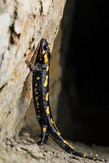 Portret salamandra ognia (salamandra salamandra) w jaskini