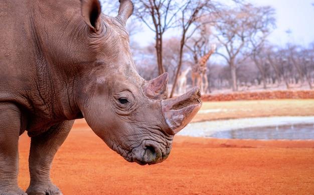 Portret samca byka białego rhino pasącego się w parku narodowym etosha dzikie zwierzęta afrykańskie