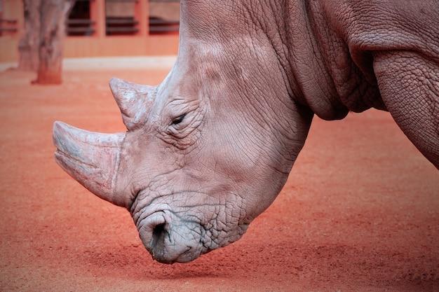 Portret samca byka białego rhino pasącego się w parku narodowym etosha namibia dzikie zwierzęta afrykańskie