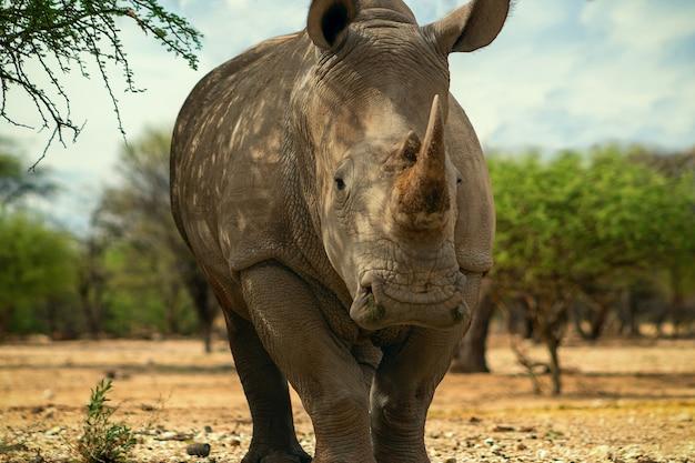 Portret samca byka białego rhino pasącego się w parku narodowym etosha namibia