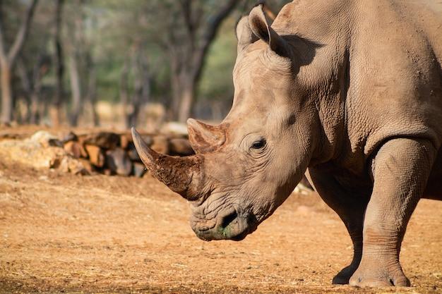 Portret samca byka białego rhino wypasu w parku narodowym etosha, namibia. dzikie zwierzęta afrykańskie. zbliżenie na nosorożca