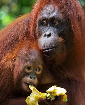 Portret samicy orangutana z dzieckiem na wolności. indonezja. wyspa kalimantan (borneo).