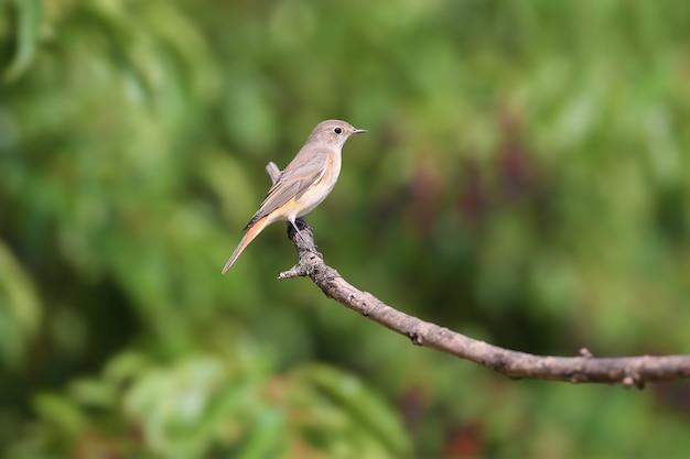 Portret samicy pleszka zwyczajnego (phoenicurus phoenicurus). ptak zostaje zastrzelony na gałęzi na rozmytym tle. zbliżenie zdjęcia do identyfikacji