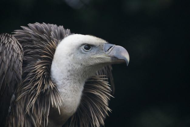 Portret sępa płowego, ptaka drapieżnego