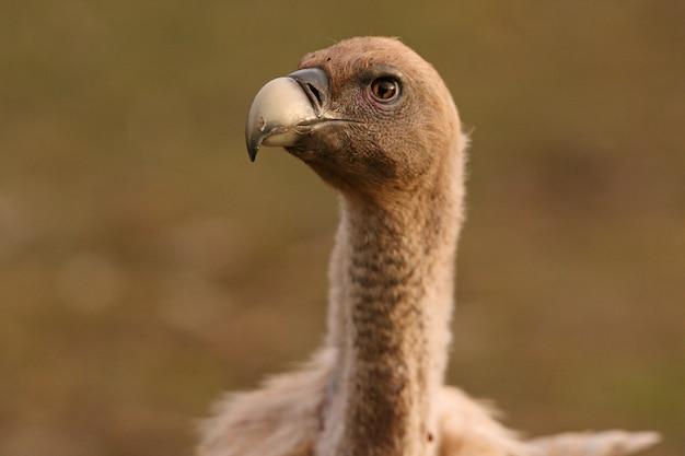 Portret sępa płowego z pierwszymi światłami poranka