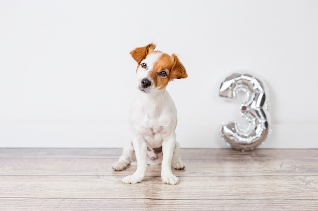 Portret ślicznego małego psa obchodzącego urodziny, ma trzy lata. stojąc nad białą ścianą ze srebrnym balonem o kształcie 3. koncepcja uroczystości