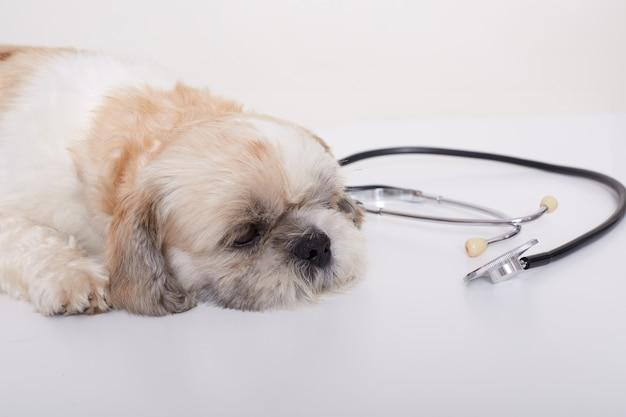 Portret ślicznego młodego małego pekińczyka psa lying on the beach na białej podłoga blisko stetoskopu