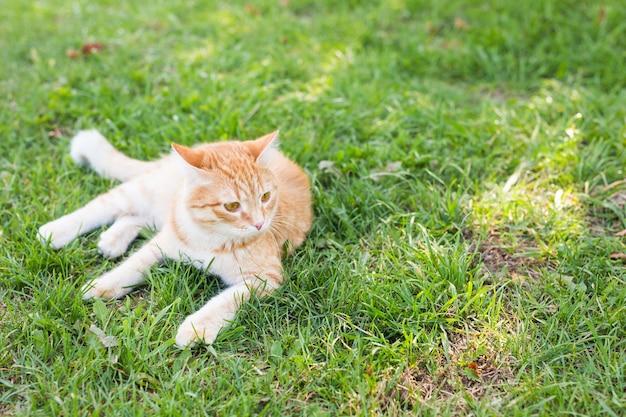 Portret ślicznego rudego kota leżącego na słonecznej zielonej łące w ciepły letni wieczór, kopia przestrzeń