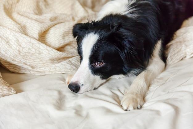 Portret ślicznego smilling szczeniaka psa border collie kłaść na poduszka koc w łóżku. nie przeszkadzaj mi, pozwól mi spać. mały pies kłama i śpi w domu. opieka nad zwierzętami i śmieszne zwierzęta domowe koncepcja życia zwierząt.