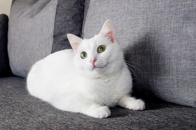 Portret ślicznego tureckiego kota angora o zielonych oczach w wieku 1 roku i 10 miesięcy na szarej sofie