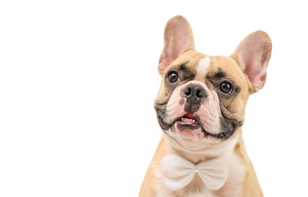 Portret ślicznej brown francuskiego buldoga odzieży łęku biały krawat odizolowywający.