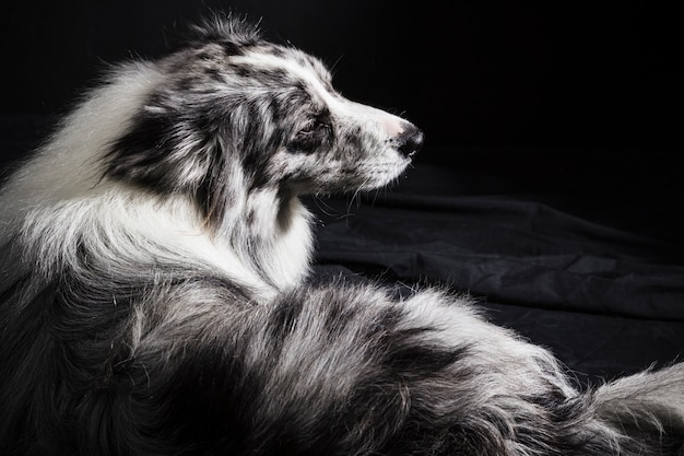 Portret śliczny border collie pies