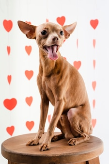 Portret śliczny chihuahua psa ono uśmiecha się