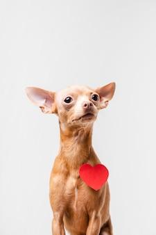 Portret śliczny mały chihuahua pies