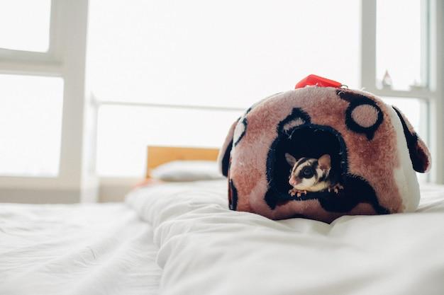 Portret śliczny mały cukrowy szybowiec na białym łóżku.