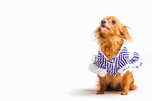 Portret śliczny mały pies nad białym tłem