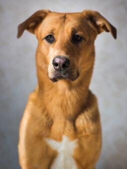 Portret śliczny mieszany trakenu pies w studiu