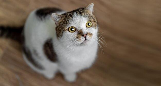 Portret śliczny szkocki fałdu kota obsiadanie na drewnie