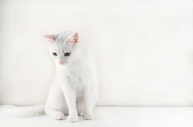 Portret śliczny turecki angorski kot