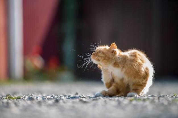 Portret śliczny uroczy imbirowy pomarańczowy młody duży kot z złotymi żółtymi oczami siedzi outdoors