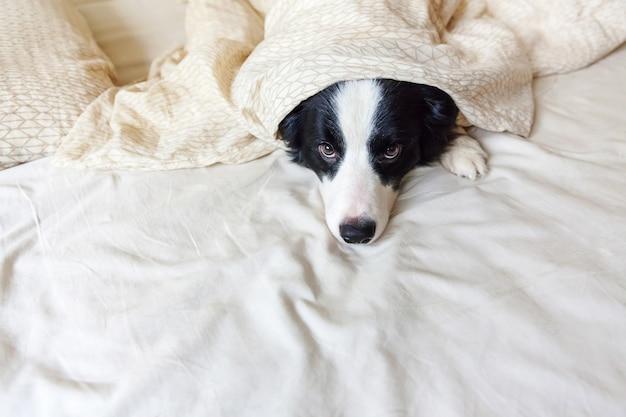 Portret śliczny uśmiechnięty szczeniaka psa border collie kłaść na poduszka koc w łóżku. nie przeszkadzaj mi, pozwól mi spać. mały pies kłama i śpi w domu. opieka nad zwierzętami i śmieszne zwierzęta domowe koncepcja życia zwierząt.