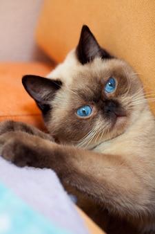 Portret słodkiego kota syjamskiego