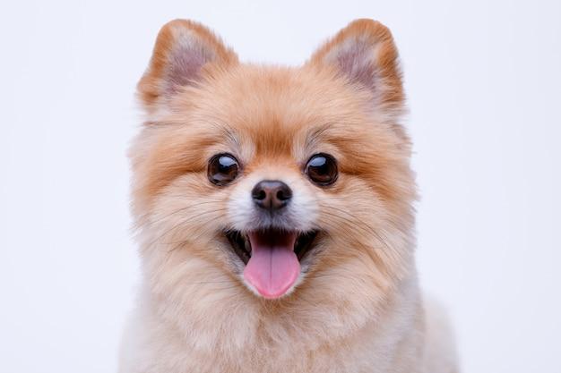 Portret słodkiego puszystego szczeniaka szpic pomorskiego. mały pies na białym tle
