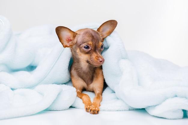 Portret słodkiego szczeniaka leżącego na niebieskiej kratce mały uśmiechnięty pies