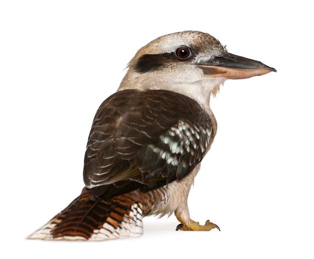 Portret śmiejącego się kookaburra dacelo novaeguineae na białym tle