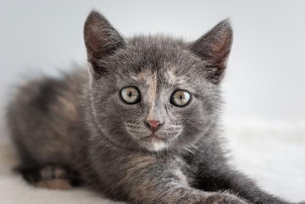 Portret śmiesznego małego szarego kotka patrzącego prosto w obiektyw