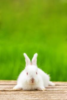 Portret śmieszny biały królik na zielonym naturalnym polu