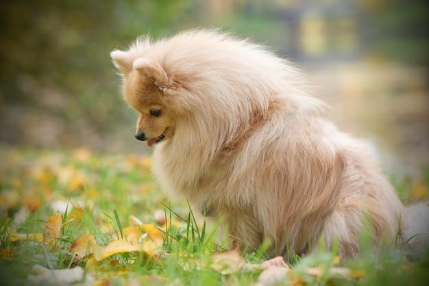 Portret smutny nieszczęśliwy mały piękny pies szpic pomorski. śliczny samotny pies czeka samotnie na swojego właściciela w złotym jesiennym parku.