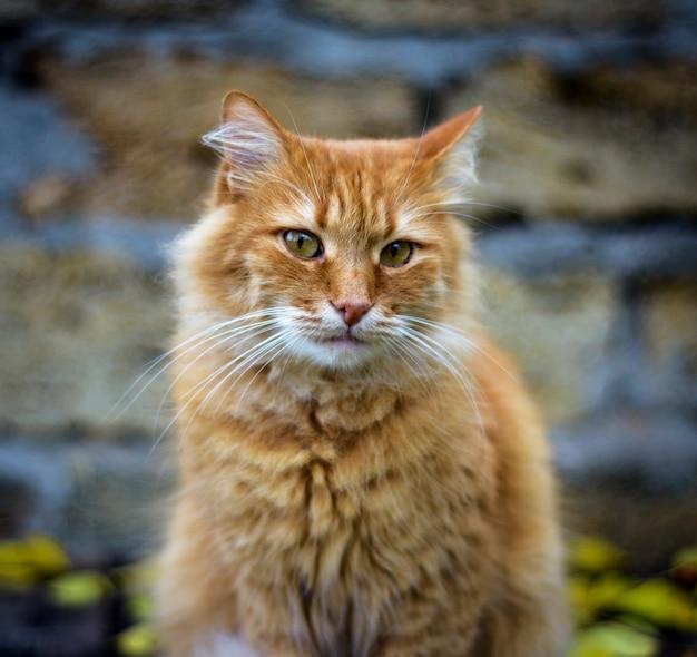 Portret smutny puszysty czerwony kot,