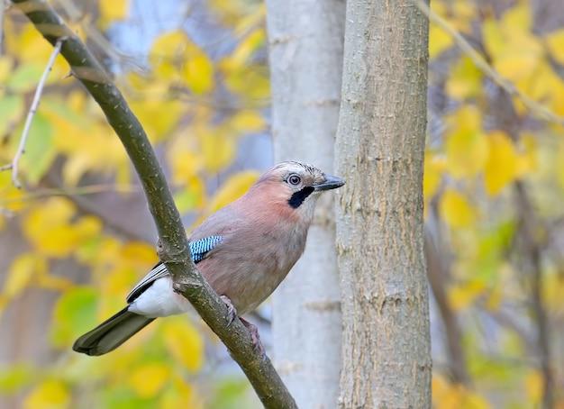 Portret sójka zwyczajna w lesie jesienią na tle żółtych liści. ptak siedzi na gałęzi
