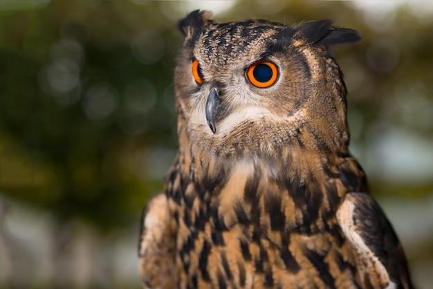 Portret sowy z pomarańczowymi i czarnymi oczami
