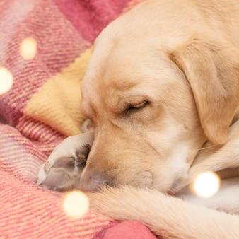 Portret śpiącego psa