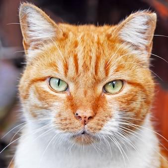 Portret sprytny kolor czerwony kot zbliżenie