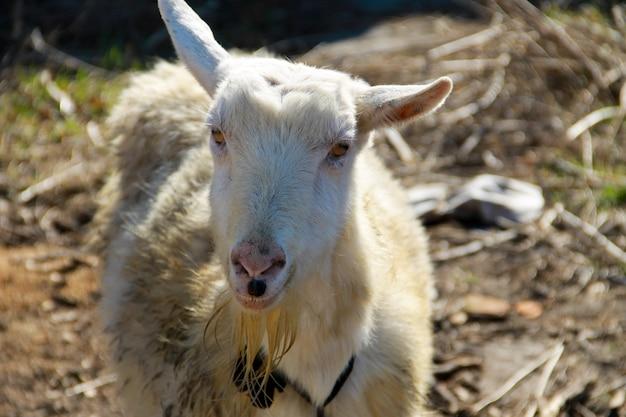 Portret starej białej kozy