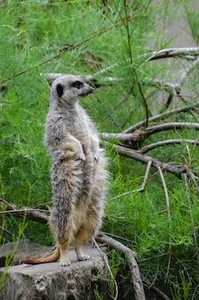 Portret surykatka suricata suricatta, afrykańskie zwierzę rodzime, mały mięsożerca należący do rodziny mangusty, z bliska. zjednoczone królestwo.