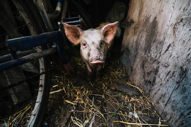 Portret świnia w chlewie