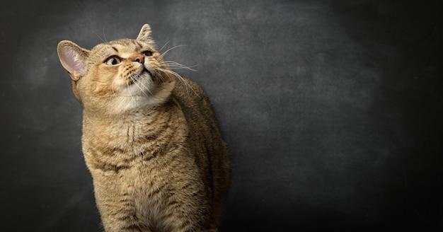Portret szarego kota szkockiego prostego na czarnej powierzchni, śmieszna buźka, kopia przestrzeń