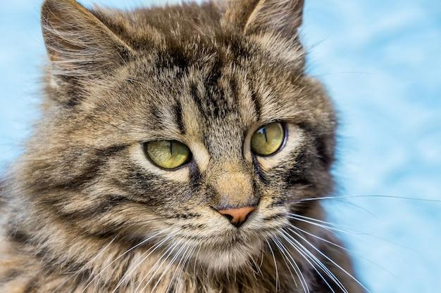 Portret szarego kota w paski z bliska na niebieskim tle